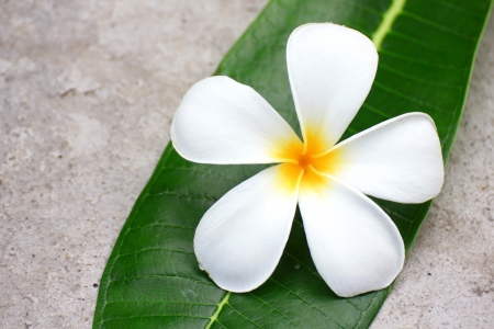 Frangipani flower on a green leaf photo