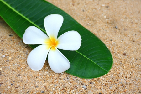 Frangipani flower on a green leaf on the sand photo