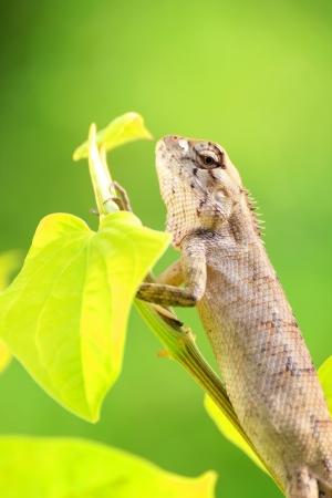 Bearded Dragon on green leaf photo