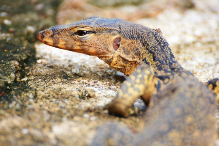 salvator: Varanus salvator, Water Monitor Lizard