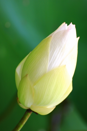 white lotus flower photo
