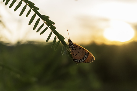 butterflies, westerly episodes, Stock Photo