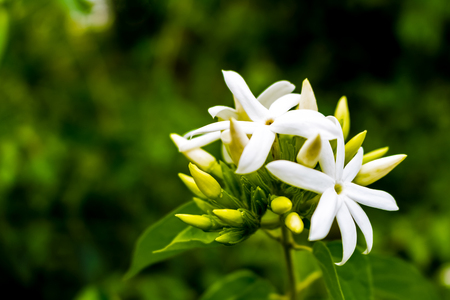 Arabian jasmine with white on the colorful nature. Фото со стока