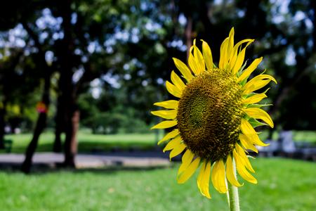 один подсолнух в парке Фото со стока
