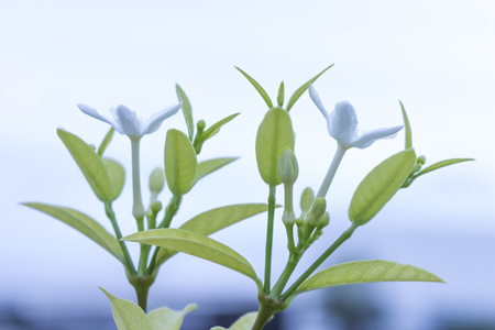 Ixora flowers  white flowers spike flowers.