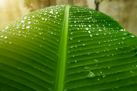 Water drops on fresh banana leaves in the morning Stock Photo