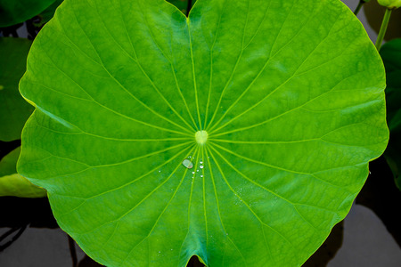 Closeup, green leaf lotus, rian drop water on leave for texture and background