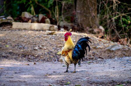 Portrait of bantam red cock animals wildlife in Thailand