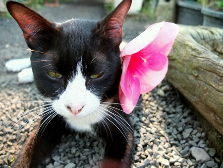 pink pussy: Black and White Cat with Flower