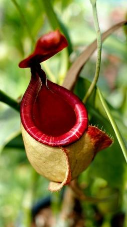 pocket: Minkey Cups: Tropical Pitcher Plants