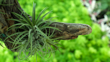 Bromeliad Hanging on The Root Wood Stock Photo