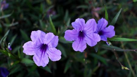 petunia wild: Relic Tuberosa Flower on The Ground