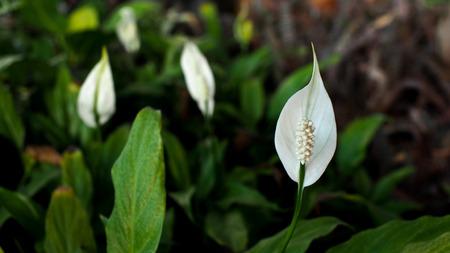 simplicidad: Flor del lirio de paz en el jardín