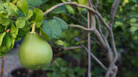 citrus maxima: Pomelo Big Fruit in The Pot