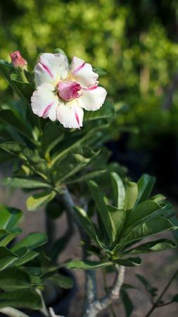 mock azalea: White Impala Lily Flower