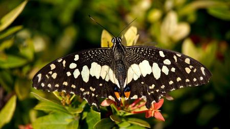silverline: Butterfly Sucked a Flower Stock Photo
