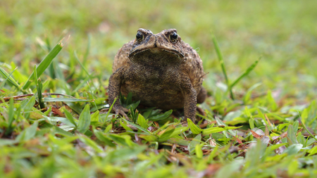 croak: Toad Swell on The Lawn Stock Photo