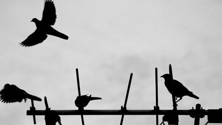 silverline: Dove and Acridotheres on TV Antenna
