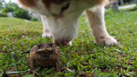 Toad Swell auf dem Rasen Nach Met Siberian Husky Standard-Bild - 62137563