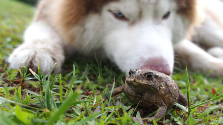 croak: Toad Swell on The Lawn After Met Siberian Husky