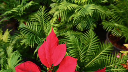 Red Poinsettia Leaf in Green Fern Stock Photo