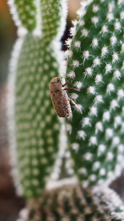Insect in White Thorn Cactus
