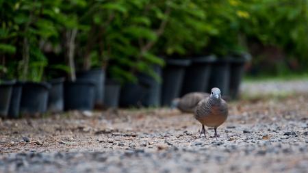 silverline: When Dove Walking on The Ground