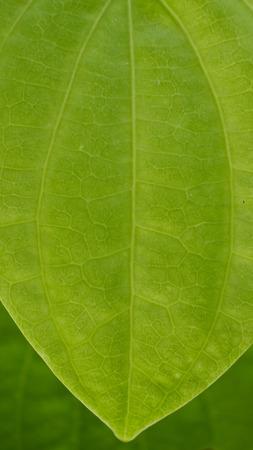 assort: Betel texture Leaf in The Garden
