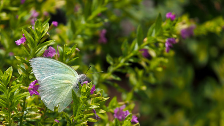 Movement of White Butterfly in The Garden