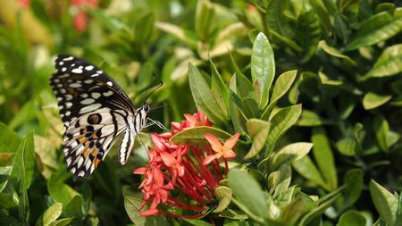 silverline: Butterfly Sucking Nectar from Red Jasmine flower