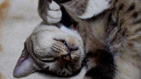 Tabby Cat Sleeping with her Hand