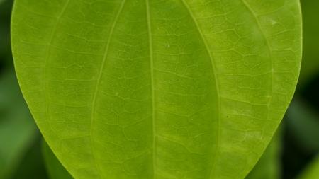 Betel texture Leaf in The Garden