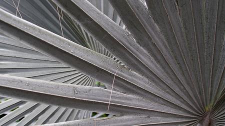 lobes: Big Sugar Palm Leaf Lobes