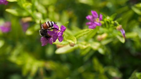 heather: Bee Sucking Nectar of False Heather Flower Stock Photo
