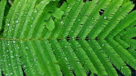 Green Cha Leaf After Rain
