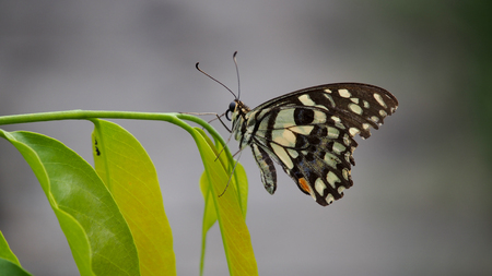 silverline: Butterfly Resting Perched on a Branch Stock Photo