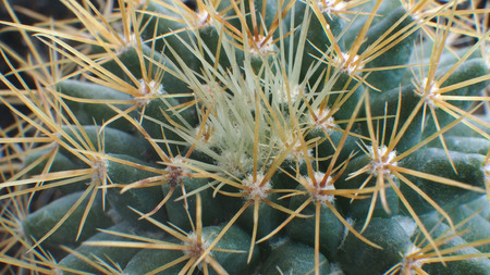 reddish: Thorns Reddish White on a Little Cactus