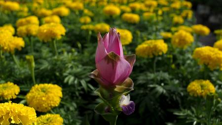 siam: Pink Siam Tulip Blooming in Calendula Field