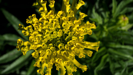 Calendula Flower begin to Bloom