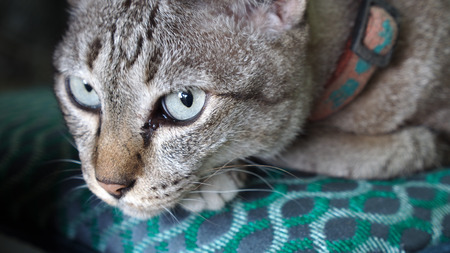 Tabby Cat Looking in The House Stock Photo