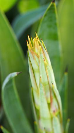 agave: Agave es de floración antes de morir