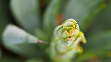 agave: Agave is Flowering Before Dying