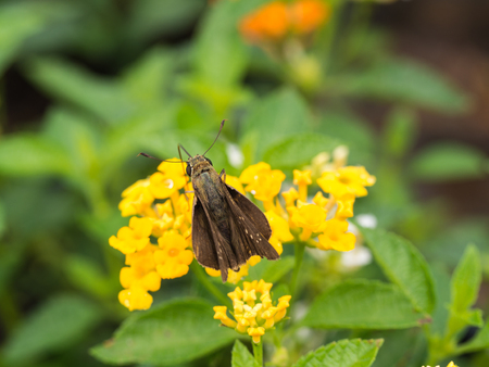 Brown Butterfly is Nectar Hedge Flowers Stock Photo