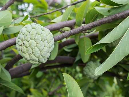 custard apple fruit: Custard Apple Fruit in The Garden