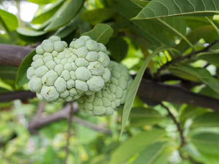 tropical evergreen forest: Custard Apple Fruit on The Footpath Stock Photo