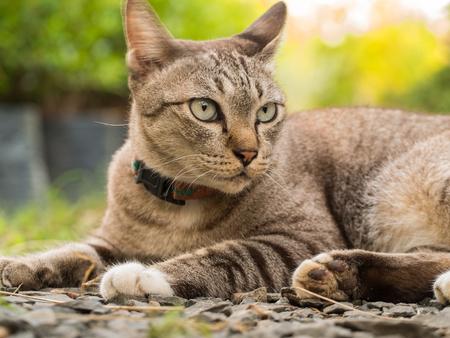 Grey Cat Crouching in The Garden