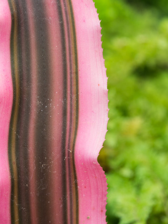 Red Bromeliad Leaf is Striped Long Stock Photo