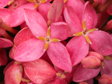 Pink Ixora Flowers Blooming After Rain