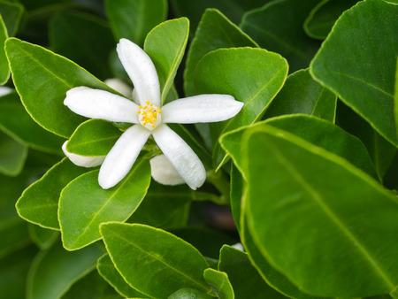 Kumquat Flower Blomming in The Garden Stock Photo