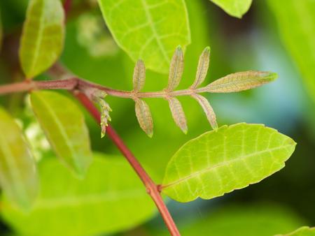 peppertree: The Brazilian Pepper-tree Leaflet Blooming